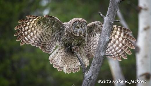 Great Gray Owl Landing