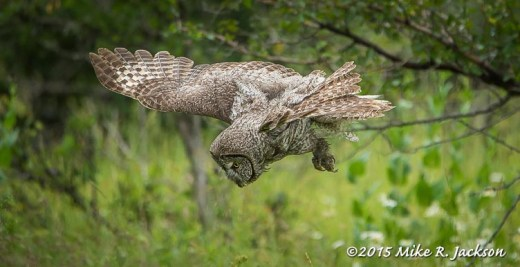 Diving Great Gray Owl