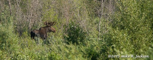 Bull Moose on the Gros Ventre