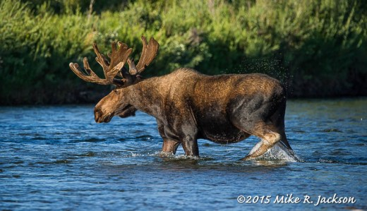 Mid-River Moose