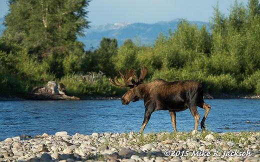 Morning Moose Crossing