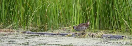 Mystery Shorebird
