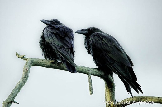Two Ravens ~ Stylized