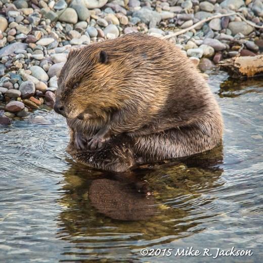 Preening Beaver