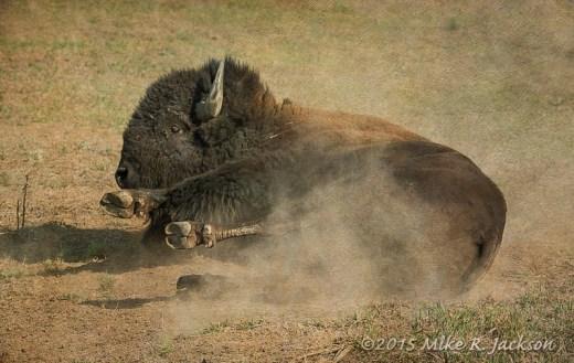 Rolling Bison Bull