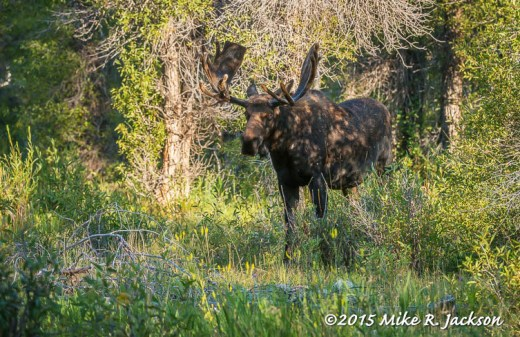 Bull Moose in Cottonwoods