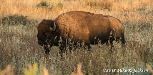 Golden Bison