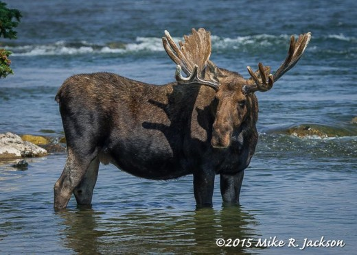 Bull Moose in the Snake River