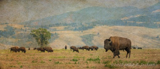 Passing Bison Bull