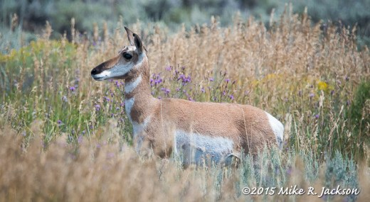 Pronghorn Doe in Purple Flowers