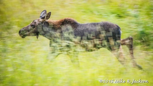 Running Young Moose