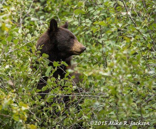 Cinnamon Bear in Hawthorne Bush