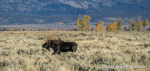 Bull Crossing Sage