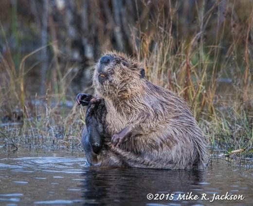 Beaver's Back Paw