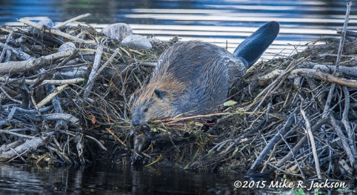 Beaver with Tail