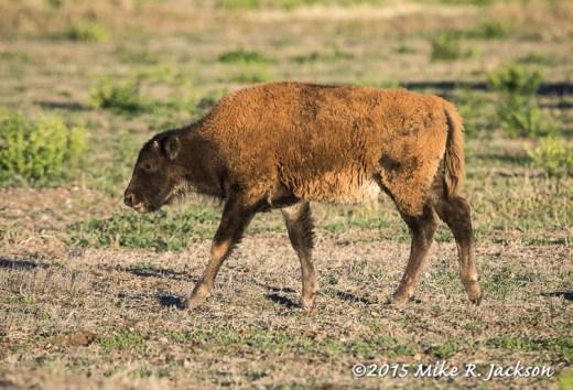 Bi-Color Bison Calf