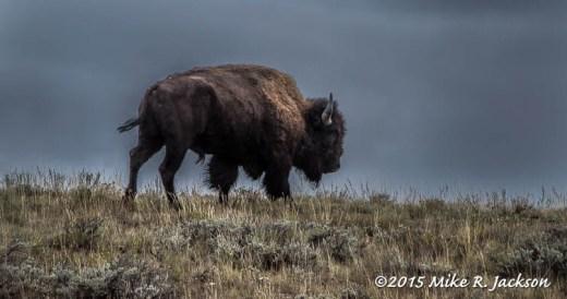 Bison On Ridge