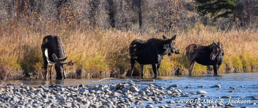 Moose at Water's Edge