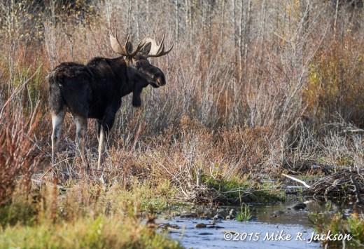 Bull Moose Along the Gros Ventre