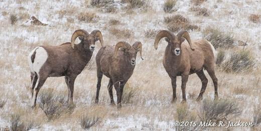 Three Rams