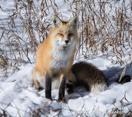 Red Fox in Golden Grass