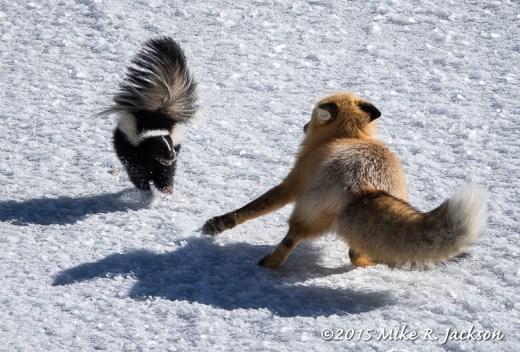 Skunk Attack