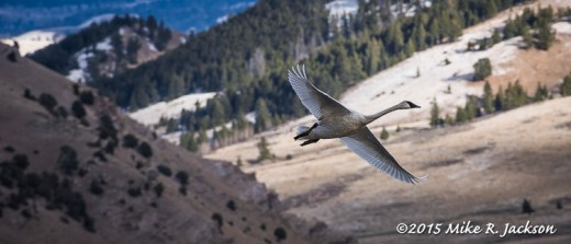Swan Against Mountain
