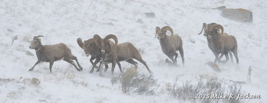 Bighorn Chase