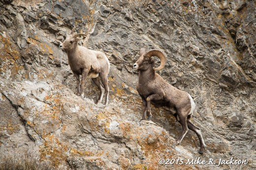 Bighorn Pair on Rocks