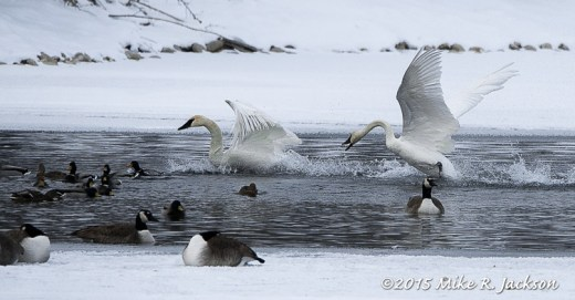Trumpeter Swans in Conflict