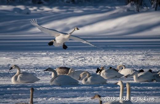 Incoming Swan