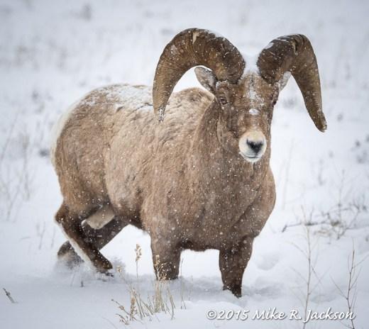 Ram in Falling Snow