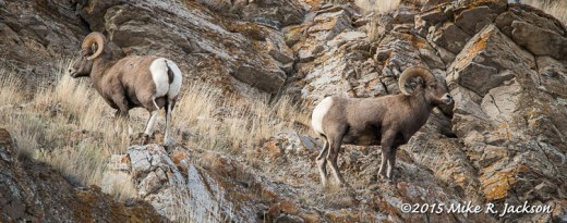 Rams Near Rocks