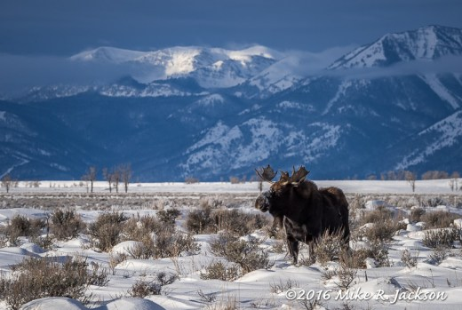 Bull Moose and Lit Peaks