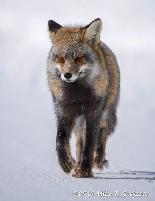 Cross Fox Approaching