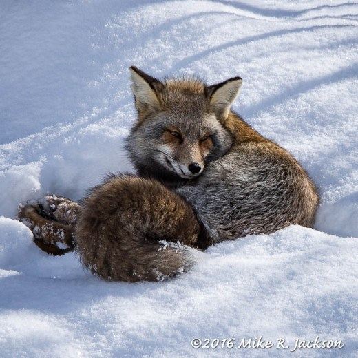 Cross Fox Resting