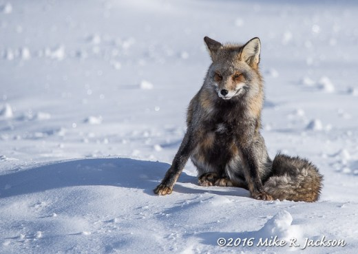 Cross Fox Waking Up