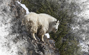 Mtn. Goat on Teton Textures