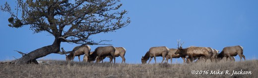 Gros Ventre Elk