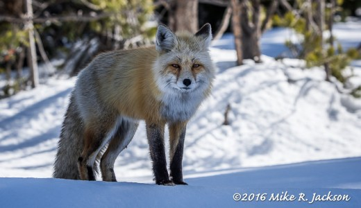 Red Fox in Shadows