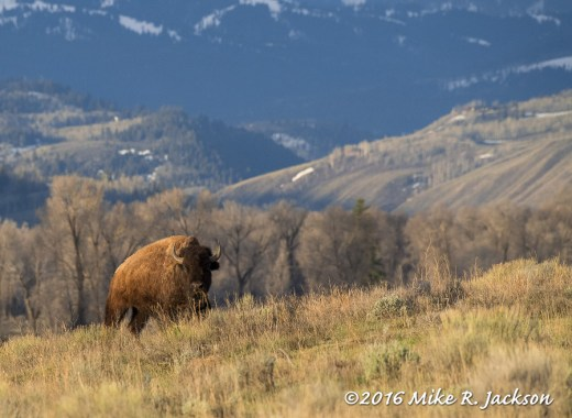Bison and Gros Ventre Tree Line