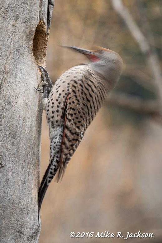 Flicker Pecking