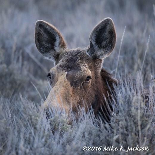 Moose Cow in Deep Sagebrush
