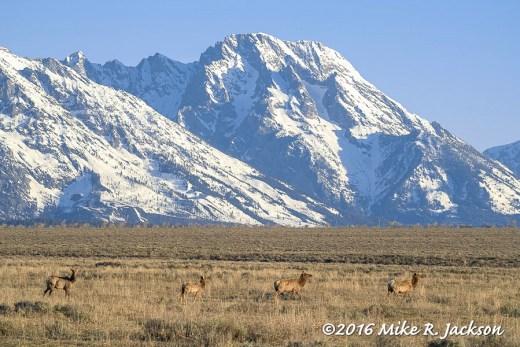 Mt. Moran and Passing Elk