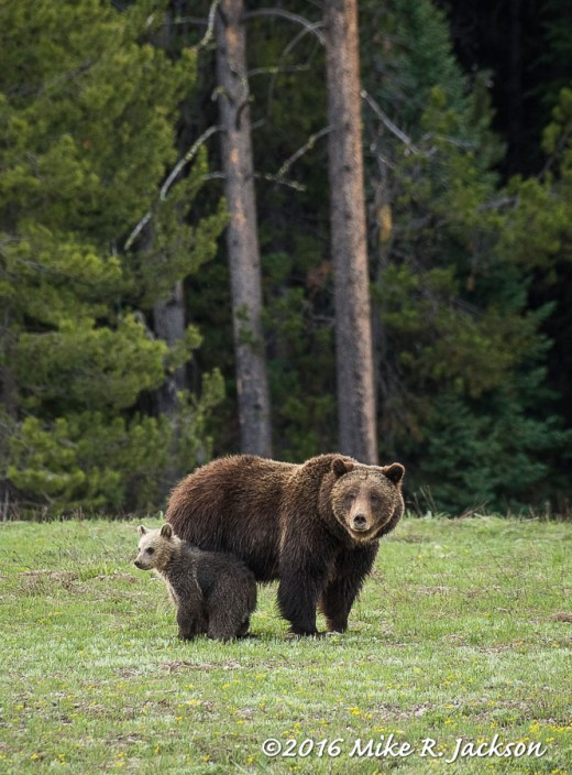 Mother Grizzly and Youngster