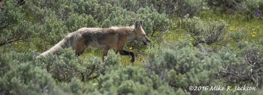 Fox In Sage