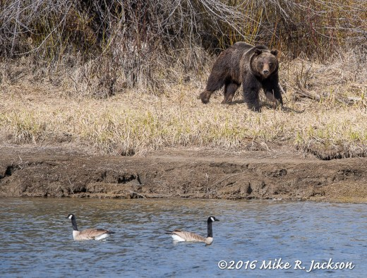 Grizzly and Geese