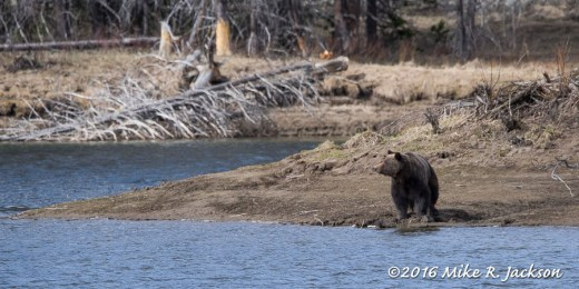 Grizzly at Oxbow Bend