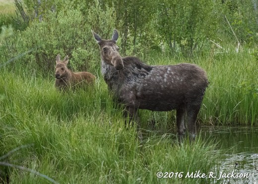 Moose Cow and New Calf