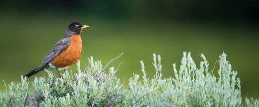 Robin on Sagebrush